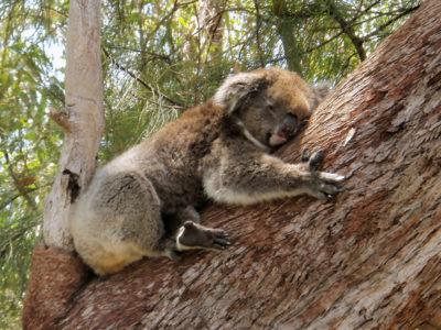 Yanchep National Park Koala