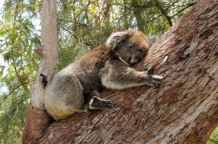 Yanchep National Park Koala
