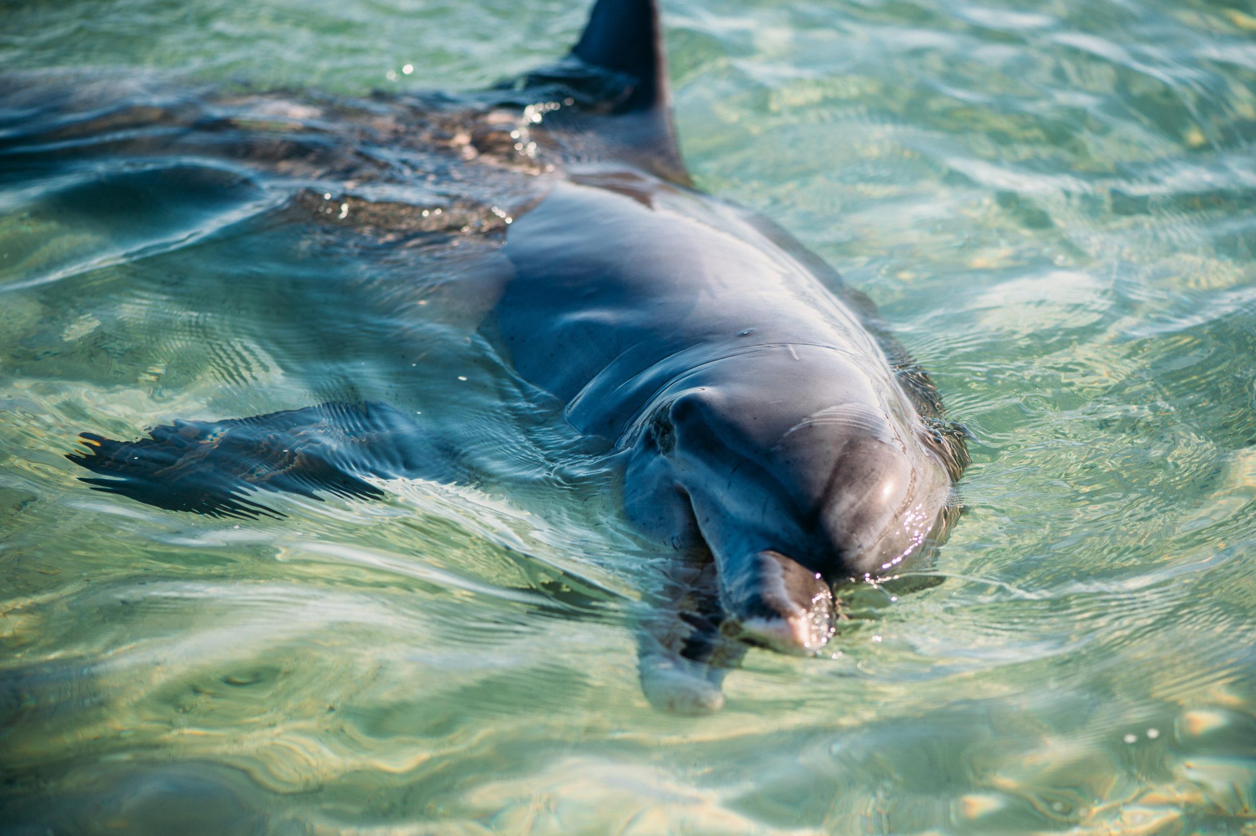 Monkey Mia Dolphin